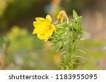 oenothera biennis  commonly... | Shutterstock . vector #1183955095