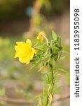 oenothera biennis  commonly... | Shutterstock . vector #1183955098