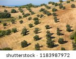 view of olive groves  on... | Shutterstock . vector #1183987972