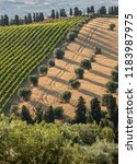 panoramic view of olive groves  ... | Shutterstock . vector #1183987975