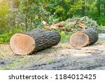 two sawn trunks of trees at the ... | Shutterstock . vector #1184012425