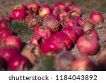 Small photo of Red, rotten, decayed, addled apples on a dry Meadow with Brown and green grass - Windfall in the later summer, autumn