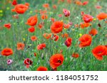poppies at wild meadow in... | Shutterstock . vector #1184051752