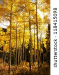 Aspens In The Autumn With The...