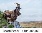 Wild Goat    Islay  Inner...