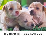 Three Brown Puppies Sleep On A...