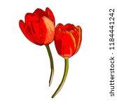 vector isolated tulip... | Shutterstock .eps vector #1184441242