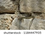 lizard reptile sits on stone in ... | Shutterstock . vector #1184447935