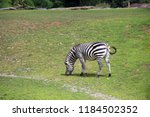 zebra in middle of green field | Shutterstock . vector #1184502352