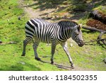 zebra in middle of green field | Shutterstock . vector #1184502355