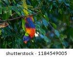 bird hanging upside down | Shutterstock . vector #1184549005