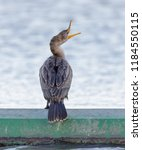 double crested cormorant ... | Shutterstock . vector #1184550115