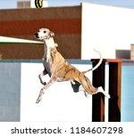 whippet dock diving | Shutterstock . vector #1184607298
