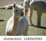 an adorable white alpaca shows...   Shutterstock . vector #1184663962