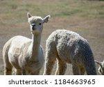 an adorable white alpaca shows...   Shutterstock . vector #1184663965