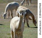 an adorable white alpaca shows...   Shutterstock . vector #1184663968