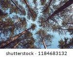tops of pine trees in the... | Shutterstock . vector #1184683132