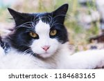 beautiful black and white cat... | Shutterstock . vector #1184683165
