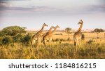 kenya safari mara | Shutterstock . vector #1184816215