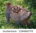 japanese macaque macaca fuscata ... | Shutterstock . vector #1184860795