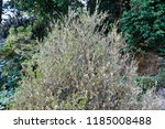 damaged box tree covered by...   Shutterstock . vector #1185008488