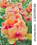 beautiful orchid flower on... | Shutterstock . vector #1185098188
