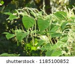 flowers of asian knotweed ... | Shutterstock . vector #1185100852