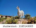 alpacas neer salar de uyuni ...   Shutterstock . vector #1185143005