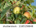 disease of leaves and vines of... | Shutterstock . vector #1185158848