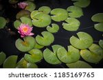 Lotus Flower And Lilypads  ...