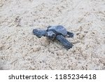 Hatchling Olive Ridley Sea Turtle on the sand beach