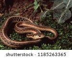 Northwestern Garter Snake ...