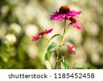 amazing nature concept of pink... | Shutterstock . vector #1185452458