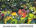 autumn leaves of grapes red and ... | Shutterstock . vector #1185453058