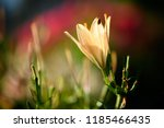 beautiful flower background and ... | Shutterstock . vector #1185466435