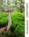 leccinum cyaneobasileucum  ... | Shutterstock . vector #1185470692