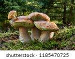 boletus edulis   edible... | Shutterstock . vector #1185470725