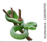 Large Eyed Green Pitviper Or...