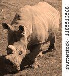 the white rhinoceros or square... | Shutterstock . vector #1185513568