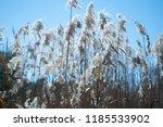 tall grass reeds in the...   Shutterstock . vector #1185533902