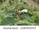 beautiful cone shaped white... | Shutterstock . vector #1185542572