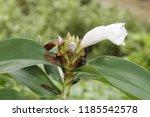 beautiful cone shaped white... | Shutterstock . vector #1185542578