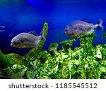ordinary piranhas are a species ... | Shutterstock . vector #1185545512
