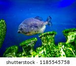 ordinary piranhas are a species ... | Shutterstock . vector #1185545758