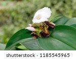 beautiful cone shaped white... | Shutterstock . vector #1185545965