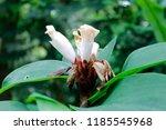 beautiful cone shaped white... | Shutterstock . vector #1185545968
