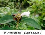 beautiful white crinkled flower ... | Shutterstock . vector #1185552358