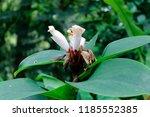 beautiful white crinkled flower ... | Shutterstock . vector #1185552385