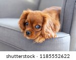 cute puppy lying on the... | Shutterstock . vector #1185552622