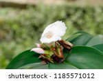 white flower of cheilocostus... | Shutterstock . vector #1185571012
